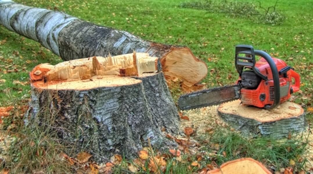 Fældning er birketræ med motorsav